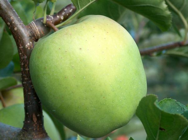 apfelbaum braeburn
